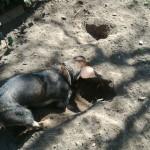 Harold ásás közben